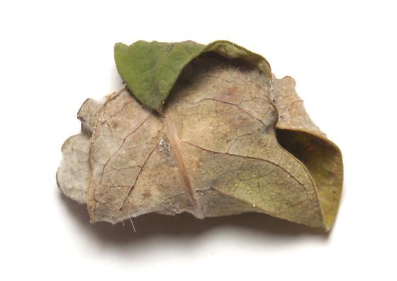 Erebidae, Six-spotted Gray, leaf wrap around pupa  - Spargaloma sexpunctata