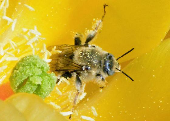 Cactus Bee - Diadasia