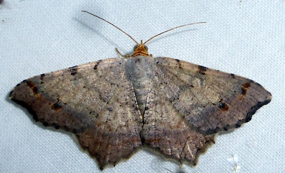 6342 Red-headedInchworm (Macariabisignata)  - Macaria bisignata