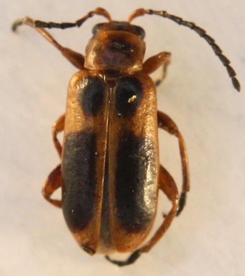 Phyllobrotica sp ? - Phyllobrotica nigritarsis