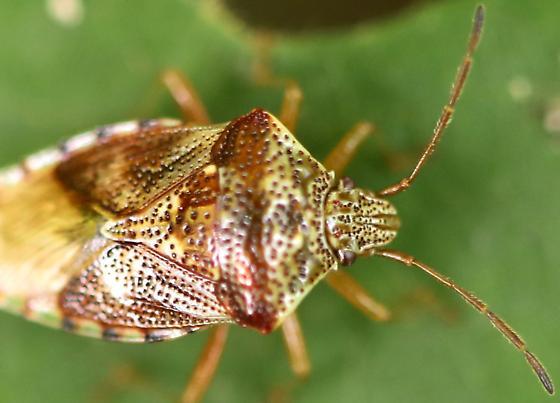Shield Bug - Elasmucha lateralis