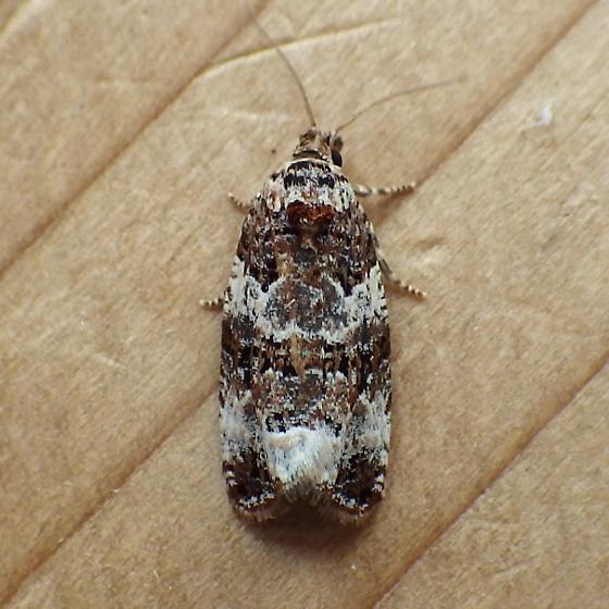 Tortricidae: Endothenia gentianaeana?