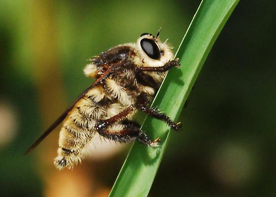 Reality Check: Is this Mallophora fautrix? - Mallophora fautrix - male