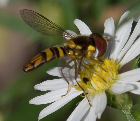 flower fly – Allograpta exotica or obliqua? - Allograpta obliqua