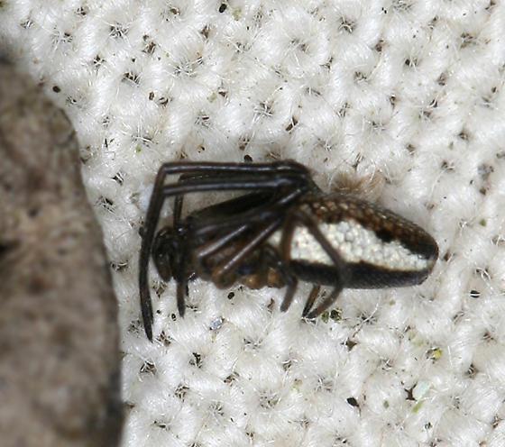 juvenile long-jawed orbweaver - Tetragnatha laboriosa