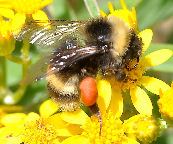 Bombus sp female on Senecio - Bombus occidentalis - female