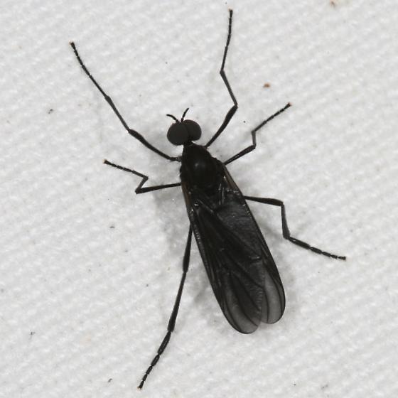 id help please - Penthetria heteroptera