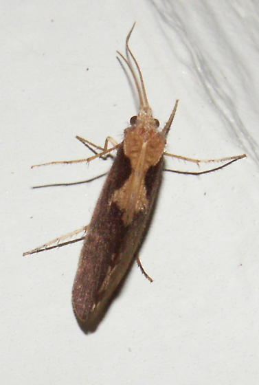 Caddisfly - Neophylax