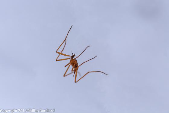 Chionea sp. - Chionea albertensis - female