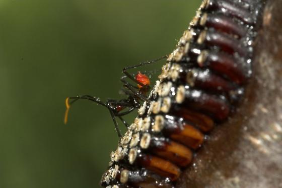Wheel Bug (Arilus cristatus) Eggs (First Out) - Arilus cristatus