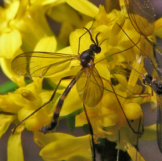 crane fly-shaped unknown flies - Lygistorrhina sanctaecatharinae - male
