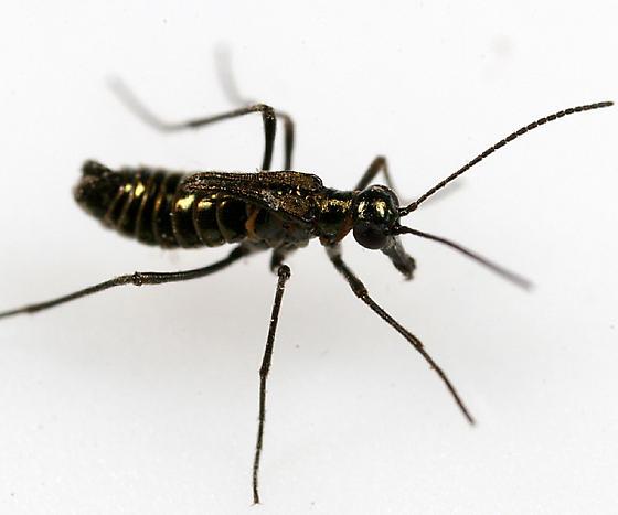 Snow Scorpionfly - Boreus brumalis - male