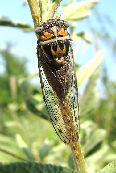 Cicada ovipositing   TX mini-gathering - Diceroprocta delicata - female