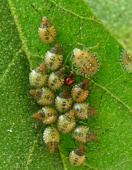 bug nymphs - Arvelius albopunctatus