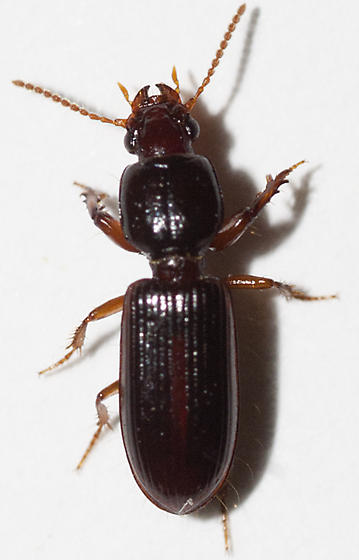 Ground Beetle - Clivina fossor