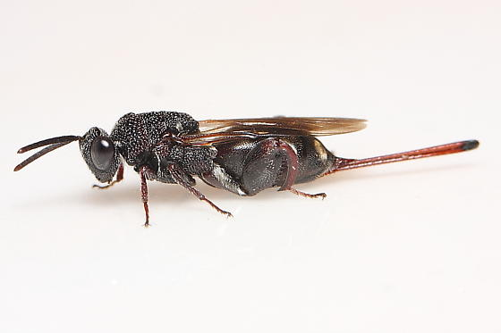 Unknown Wasp - Acanthochalcis nigricans - female