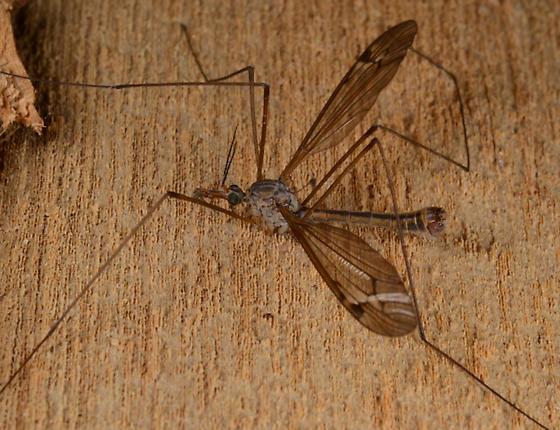 Tipula silvestra - male