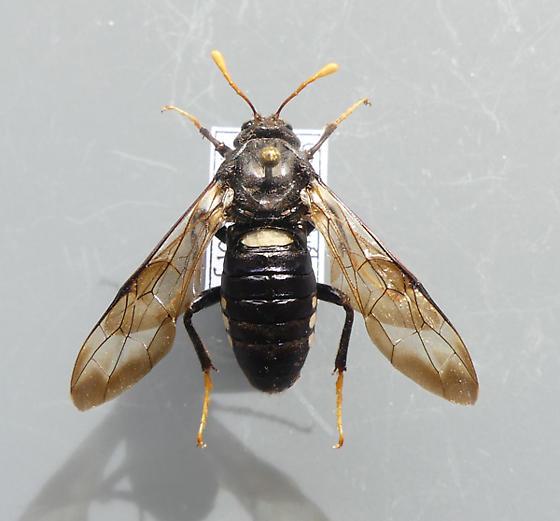 Cimbex americana - Cimbex americanus