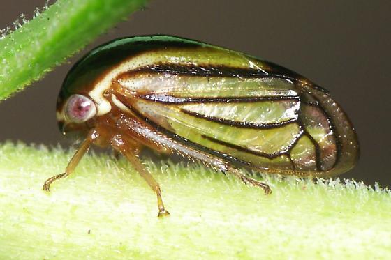 Acutalis brunnea - Acutalis tartarea