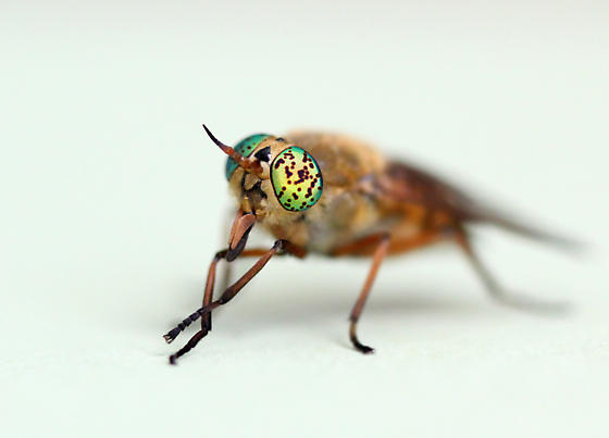 Deer Fly with spotted eyes - Silvius gigantulus
