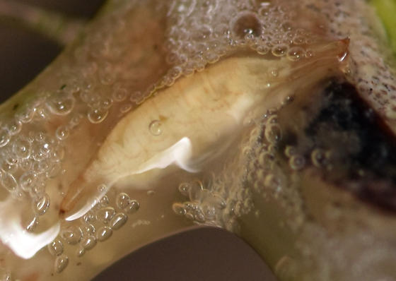 spittlebug fly larva - Cladochaeta inversa