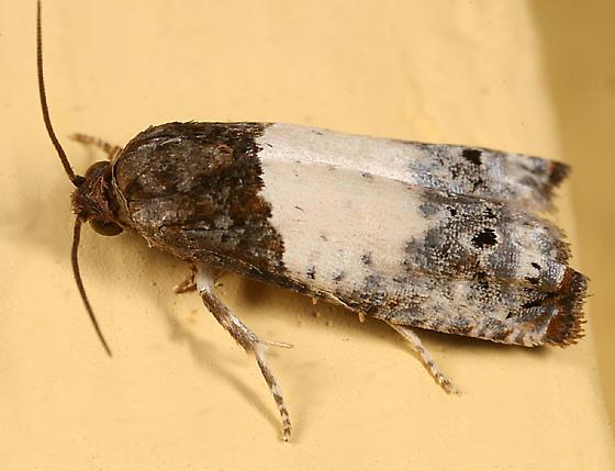 small moth - Epiblema scudderiana