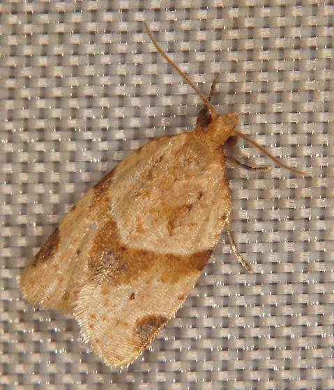 Unknown Tortricid - Clepsis peritana