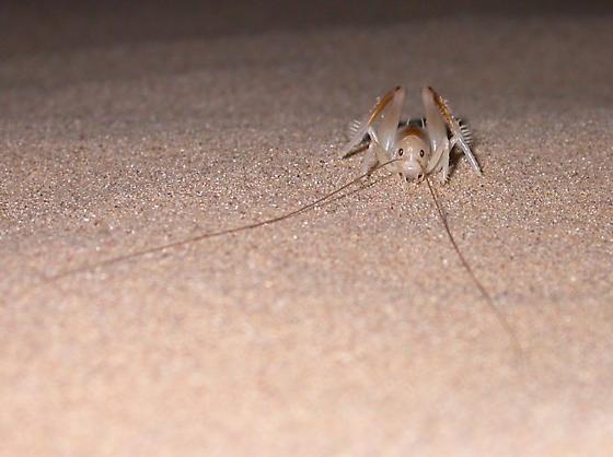Algodones Sand Treader Cricket - Macrobaenetes algodonensis