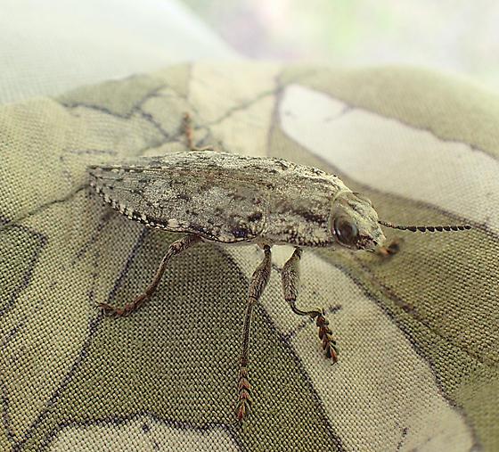 beetle who landed on me - Texania fulleri