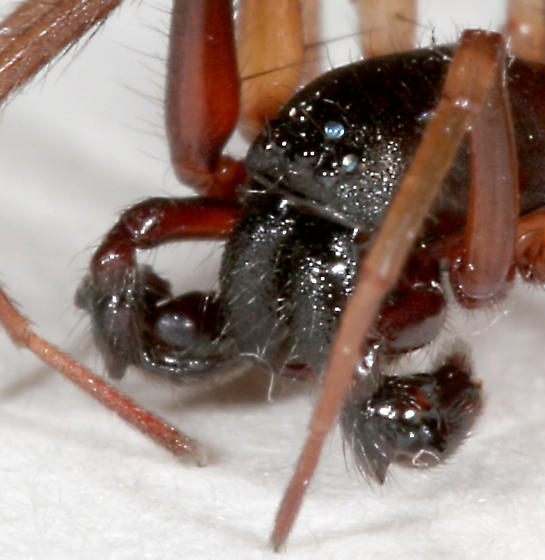 Spider BG395 - Falconina gracilis - male