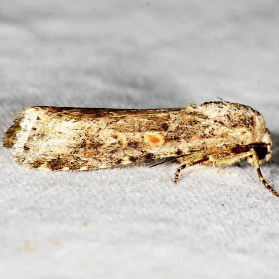 Unknown Moth - Spodoptera exigua
