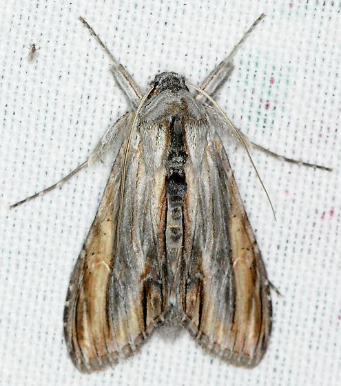 Moth - Cucullia eucaena - male