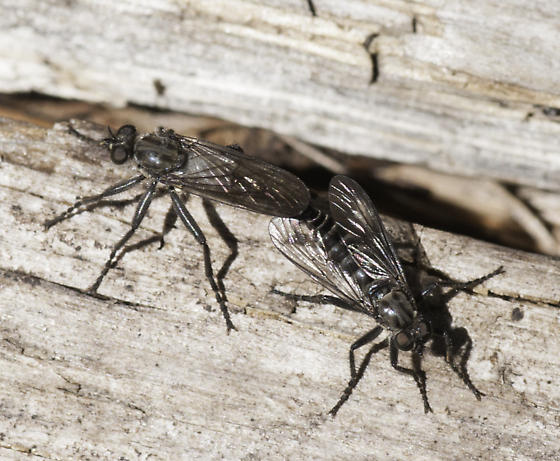 Lots of these flies on the dead wood along the trail - Lasiopogon fumipennis - male - female