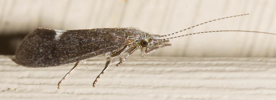 White-tornadoed caddisfly - Ceraclea