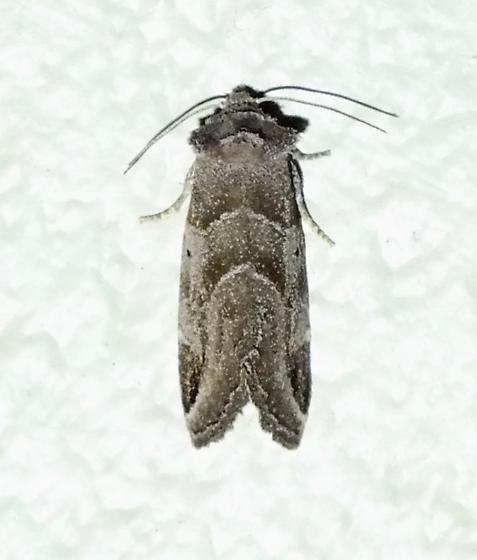 Black-barred Brown - Plagiomimicus pityochromus