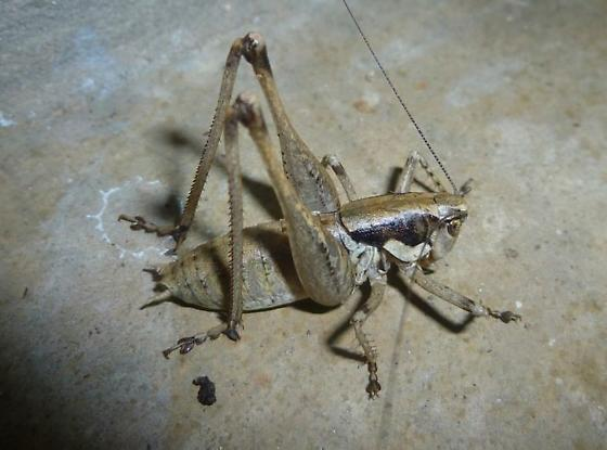 Shieldback of some sort?  - Pediodectes nigromarginatus - male