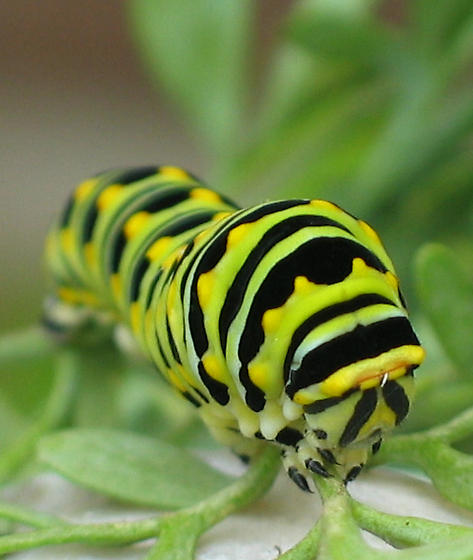 Black Swallowtail Caterpillar - Papilio polyxenes