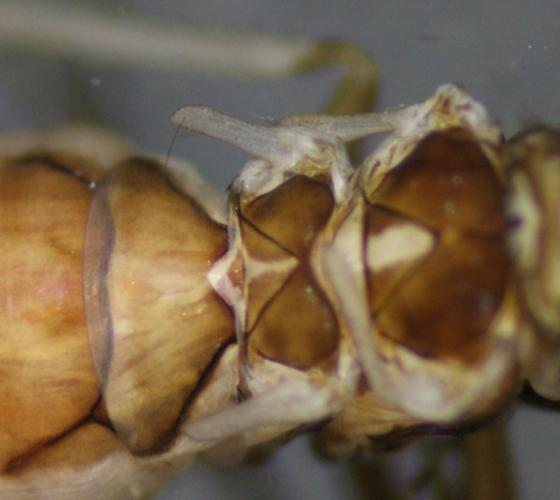 Dolophilodes distinctus ♀, wingless female close up  - Dolophilodes distinctus - female