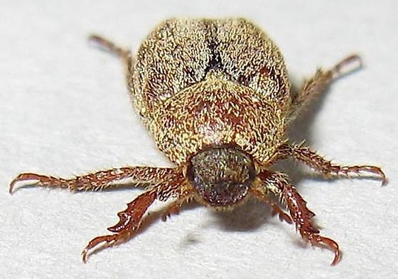 Hoplia Beetle - Hoplia