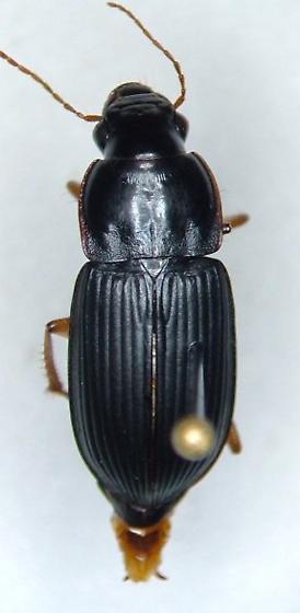 Harpalus pensylvanicus - female