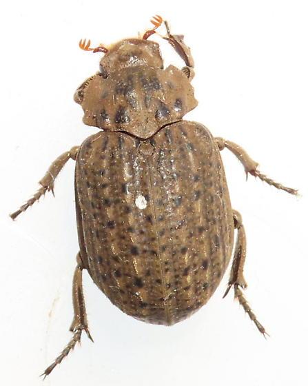Hide Beetle? - Omorgus suberosus
