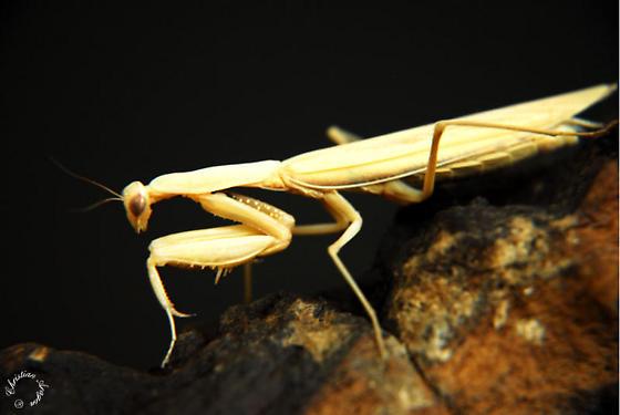 Yellow Mantis - Mantis religiosa - female