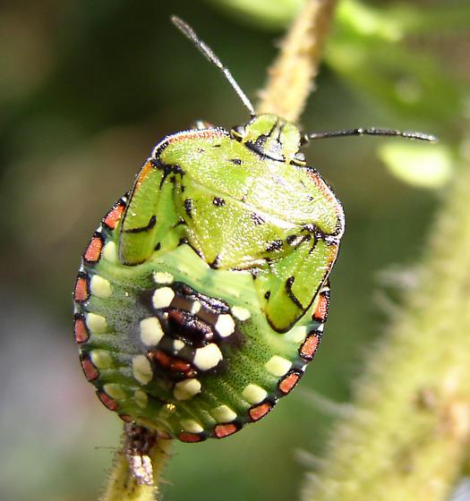 X bug - Nezara viridula