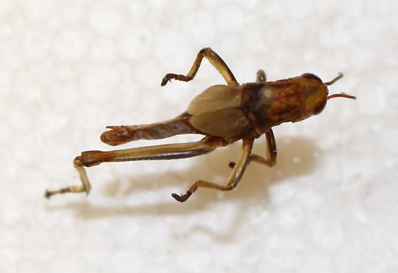 Acrididae? - Melanoplus