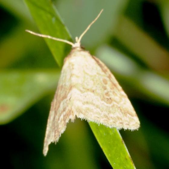 Pale Glyph - Hodges#9048 - Protodeltote albidula