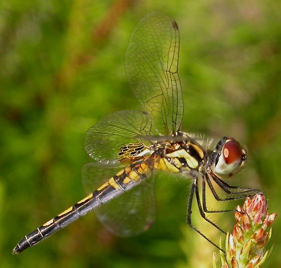 Dragonfly - Celithemis ornata