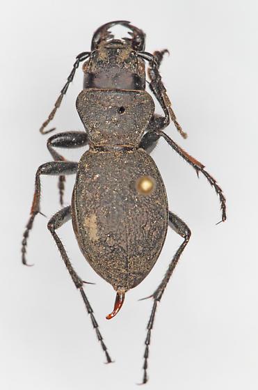 WSU-4 - Omus dejeanii - male