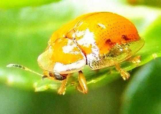 Tortoise Beetle ? - Charidotella sexpunctata