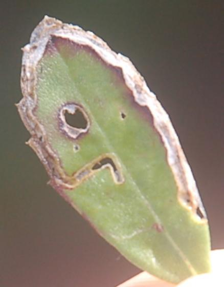 Ding Darling Refuge leaf miner on Lippia nodiflora D1363 2018 1