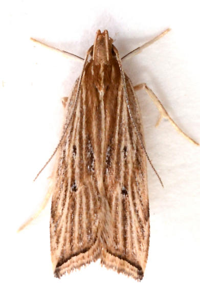 Helcystogramma from rolled leaf blades of Bromus pubescens - Helcystogramma hystricella